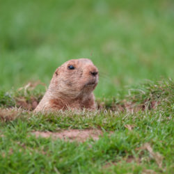 groundhog poking head out of grass for apartment resident event ideas for february